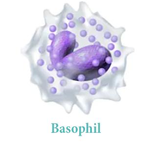 Базофилы (BA)