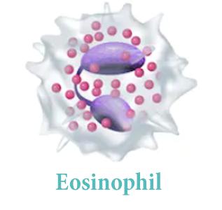 Эозинофилы (EOS)