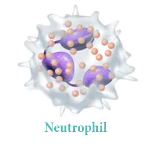 Нейтрофилы (Neutrophils)